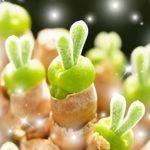 かわいいうさぎ耳の多肉植物モニラリアが人気!育て方の説明書付きはこちら