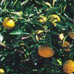 じゃばらサプリが花粉症におすすめ!楽天で人気のじゃばらサプリをご紹介します